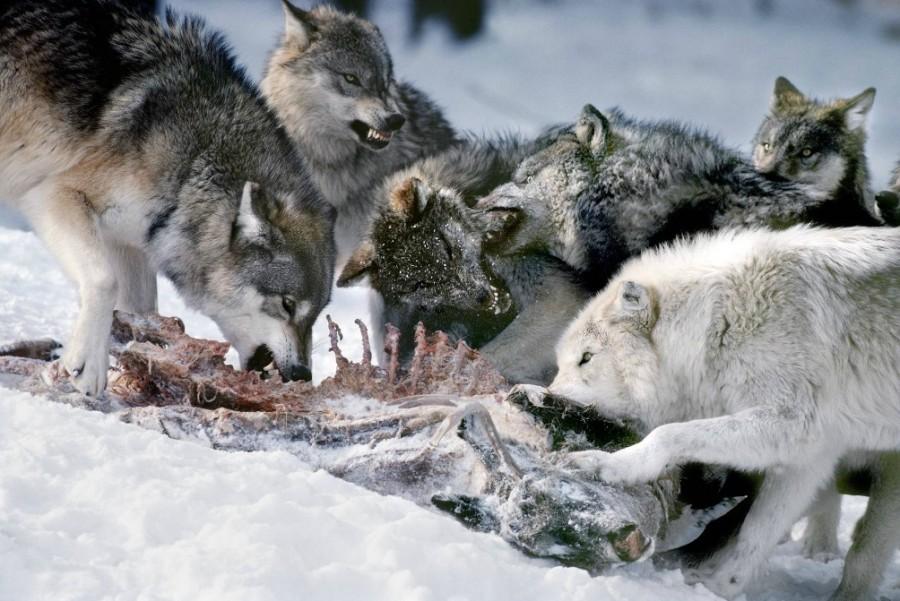 Волки к чему снятся - приснились волки во сне сонник