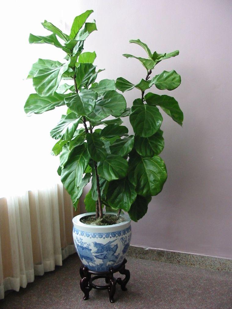 Фикус лировидный лирата / Ficus lyrata - уход