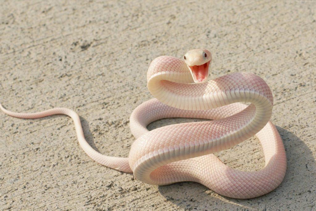 К чему снится белая змея женщине